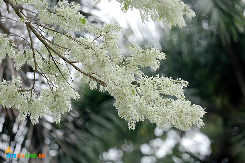 hình ảnh hoa sưa hà nội