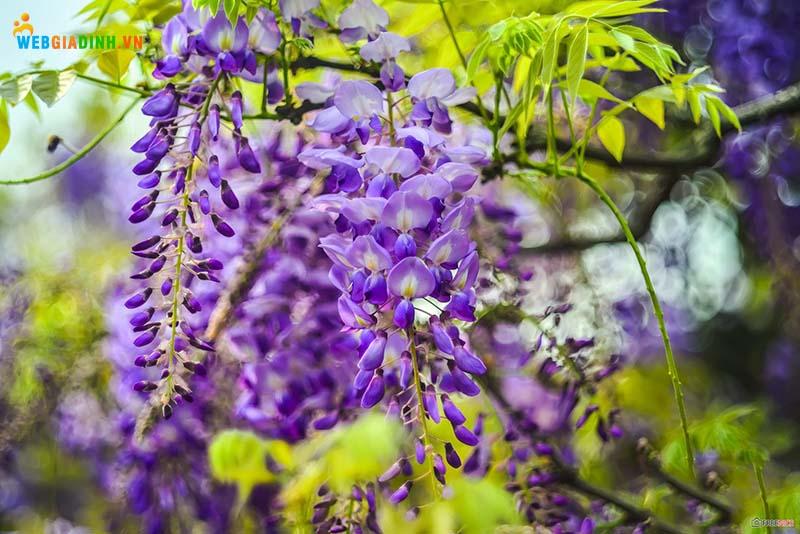 hoa tử đằng hoa đẹp nhất trên thế giới
