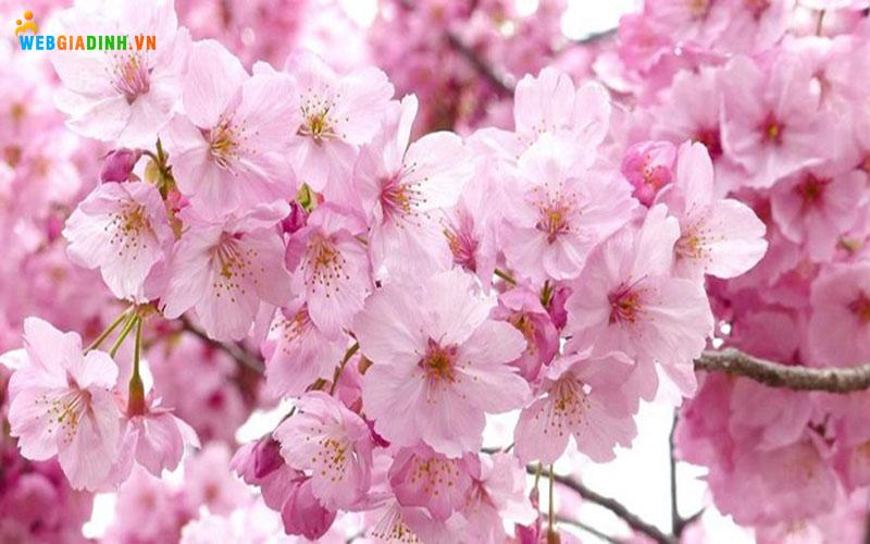 hoa anh đào