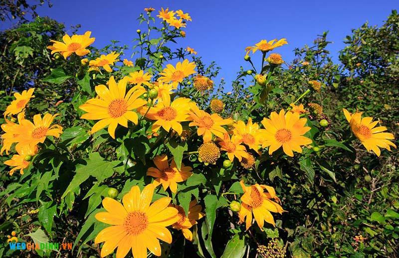 Hoa đẹp nhất VIệt Nam hoa dã quỳ