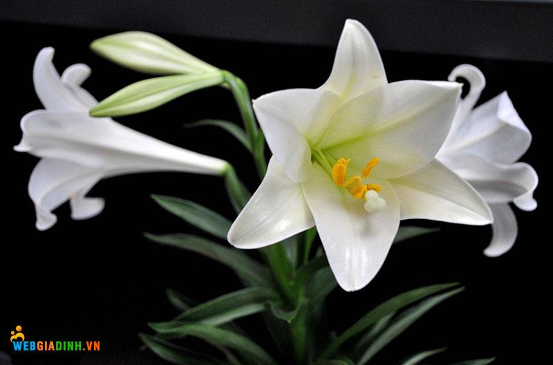 Hoa đẹp nhất VIệt Nam HOa ly