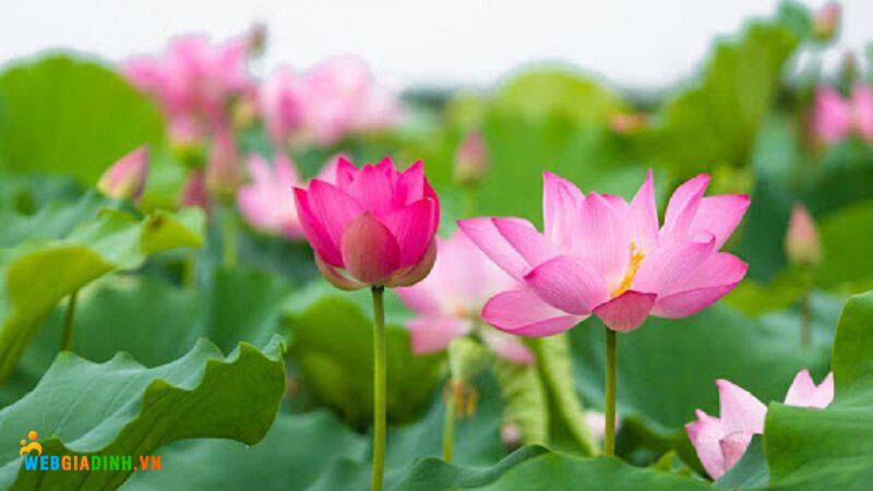 Hoa sen Hoa đẹp nhất Việt Nam