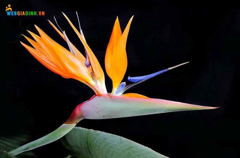 hoa thiên điểu hoa đẹp nhất trên thế giới